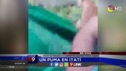 CORRIENTES - Un puma en Itatí
